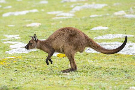 kangaroo island: Kangaroos while jumping at sunset in kangaroo island