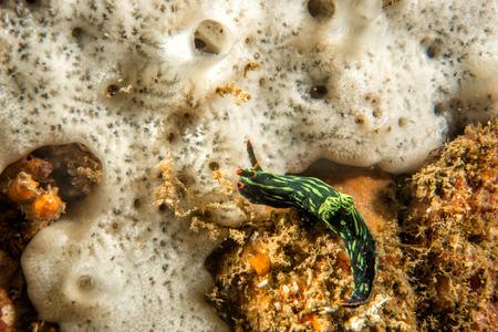 nudibranch: nembrotha cristata nudibranch underwater portrait macro