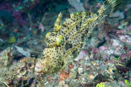 clown triggerfish: triggerfish underwater while diving in Lembeh Indonesia