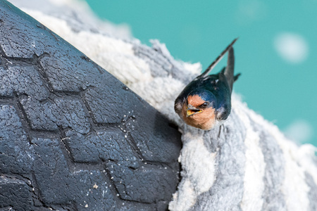 outspread: portrait of swallow swift on jetty Stock Photo