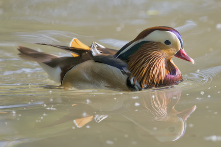 palmate: Isolated mandarin duck  on the green water background Stock Photo