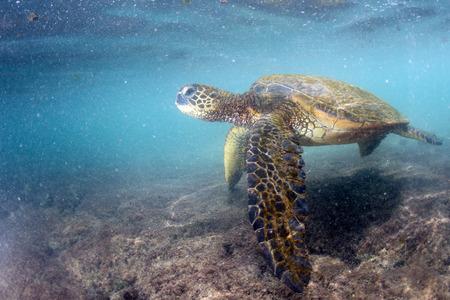 schildkroete: grüne Schildkröte unter Wasser während des Essens am Strand in Hawaii am Kahaluu Beach Park