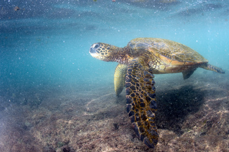 green turtle: green turtle underwater while eating near the beach in Hawaii at Kahaluu Beach Park
