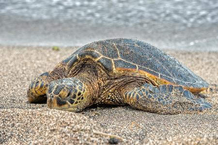 Green Turtle while relaxing on sandy beach in big island in Hawaii