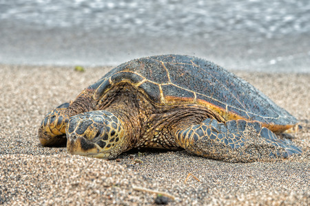 Green Turtle while relaxing on sandy beach in big island in Hawaii