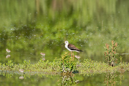 black winged stilt: black winged stilt portrait on green swamp background Stock Photo