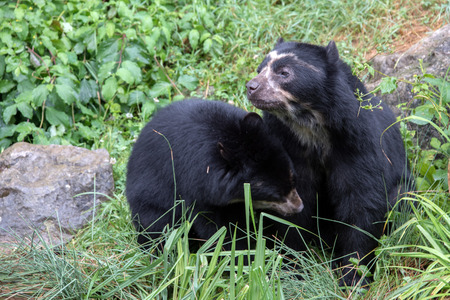 spectacled: sudamerica spectacled bear portrait while looking at you