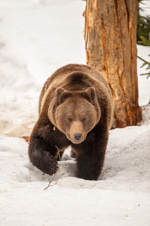 polar bear on ice: Brown bear brown grizzly walking to you on the snow background Stock Photo
