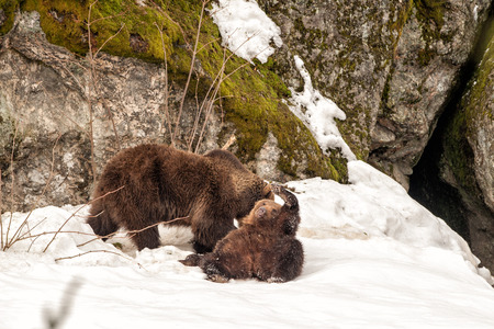 animals in the zoo: Negro marr�n oso grizzly retrato en el fondo de la nieve