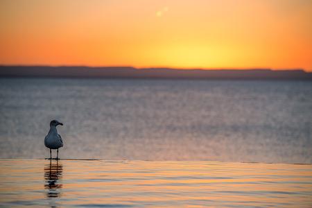 zuma: portrait of seagull on sandy beach on golden sunset background Stock Photo