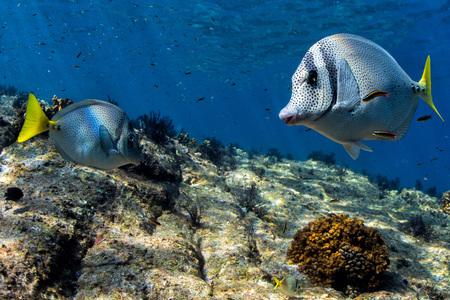 siganus: Silver yellow and grey Rabbit Fish