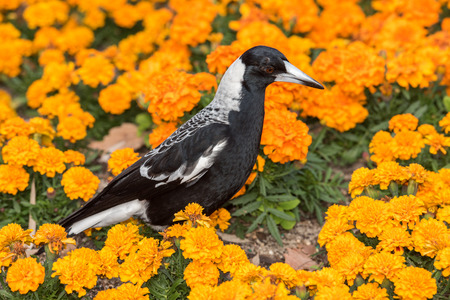 glower: magpie in perth botanic gardens on orange blossom glower background Stock Photo