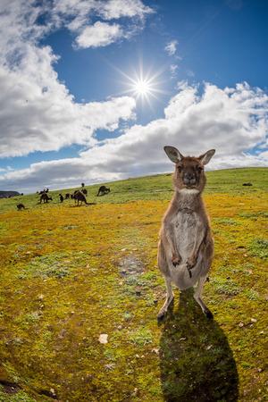 kangaroo: Kangaroos while looking at you at sunset in kangaroo island