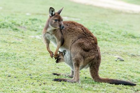 kangaroo island: Kangaroos while looking at you at sunset in kangaroo island