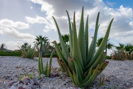 baja california: baja california cactus close up detail