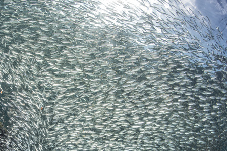bait ball: going Inside a giant sardines school of fish in the reef and blue sea Stock Photo