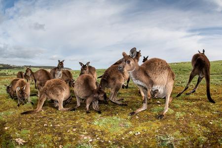 outback australia: Kangaroos while looking at you at sunset in kangaroo island