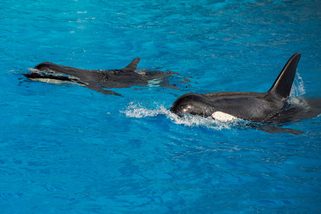 killer whale: orca killer whale while swimming too you Stock Photo