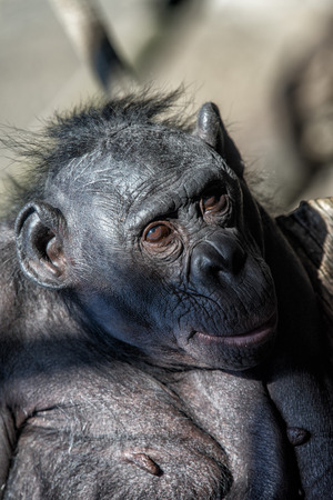 pan tropical: portrait of bonobo female ape close up looking at you