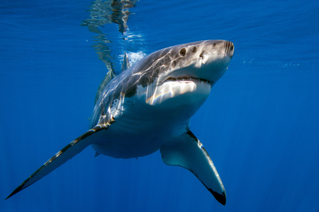 Great White shark while coming to you on deep blue ocean background Stockfoto