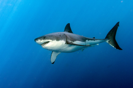 Great White shark while coming to you on deep blue ocean background Archivio Fotografico