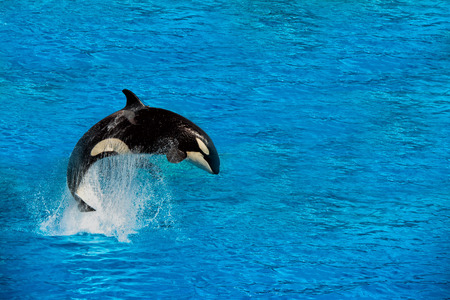 ballena azul: orca orca mientras que salta fuera del agua