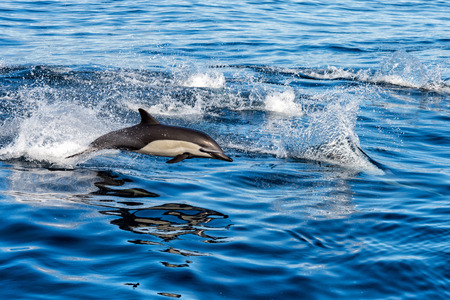 common dolphin jumping outside the pacific ocean in California