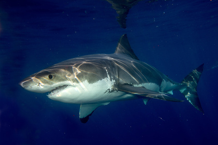 Great White shark while coming to you on deep blue ocean background Imagens