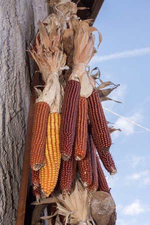 drying corn cobs: corn cobs at the market