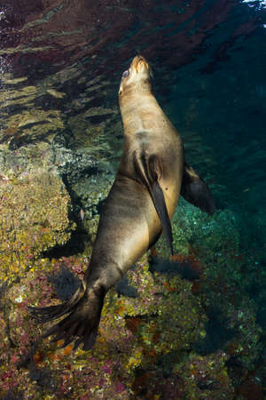 pinniped: newborn sea lion underwater coming to you to have fun and play