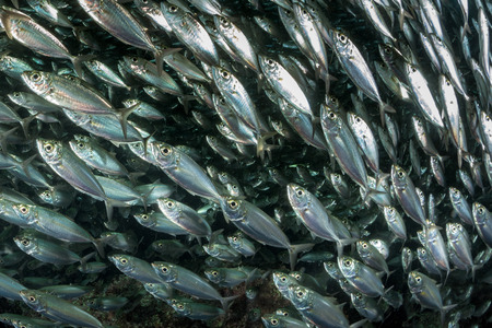 inside a giant sardines school of fish bait ball Imagens - 49044311