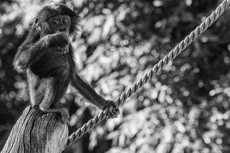 bonobo: portrait of newborn young bonobo ape close up looking at you in black and white