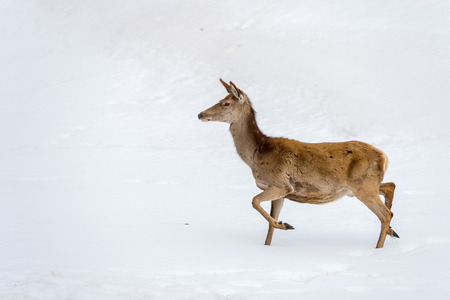 capreolus: deer while running on the snow background Stock Photo
