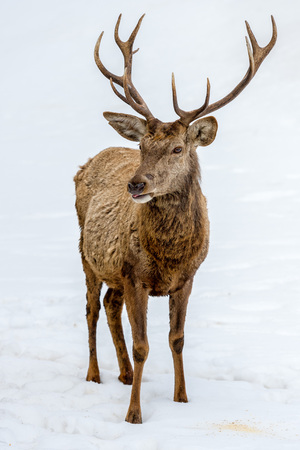 white tail deer: deer portrait while looking at you in winter time