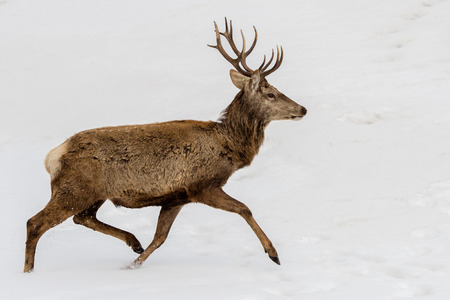 capreolus: male deer while running on the snow background