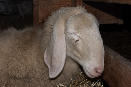 another: sheep while sleeping on another sheep
