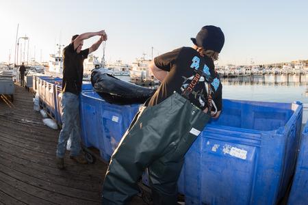 fisher animal: SAN DIEGO, USA - NOVEMBER 17, 2015 - fishing boat unloading yellowfin tuna at harbor pier at sunrise, destination is local market Editorial