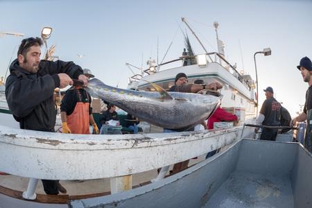 unloading: SAN DIEGO, USA - NOVEMBER 17, 2015 - fishing boat unloading yellowfin tuna at harbor pier at sunrise, destination is local market Editorial