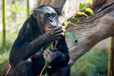 bonobo: portrait of bonobo female ape close up looking at you