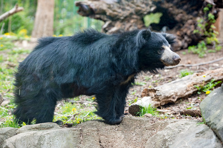 Sloth black asian bear portrait while looking at you