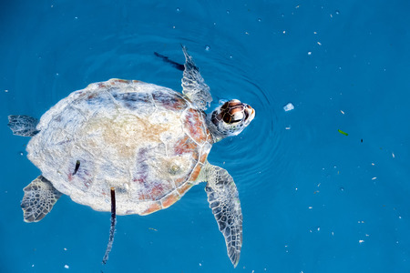 sipadan: A turtle near Sipadan white sand beach Tropical turquoise paradise Stock Photo