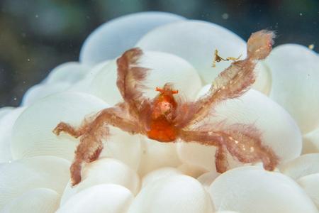 hard coral: Red orang utan crab on hard coral macro in indonesia Stock Photo