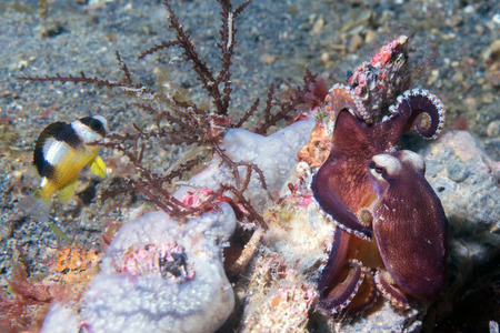 lembeh: coconut octopus on sand background while diving in Indonesia