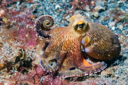 wildlife refuge: coconut octopus on sand background while diving in Indonesia