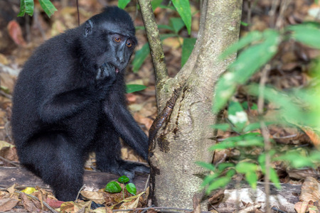 celebes: Celebes Sulawesi endemic crested black macaque ape portrait while drinking