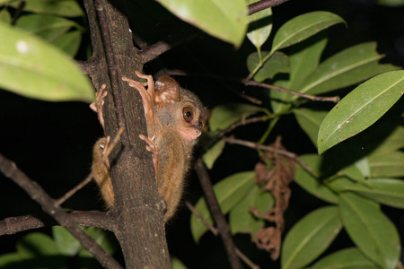nocturnal: Tarsius small nocturnal monkey hanging on a tree in indonesia forest Stock Photo