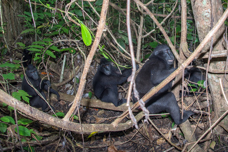 celebes: Celebes Sulawesi endemic crested black macaque family ape portrait
