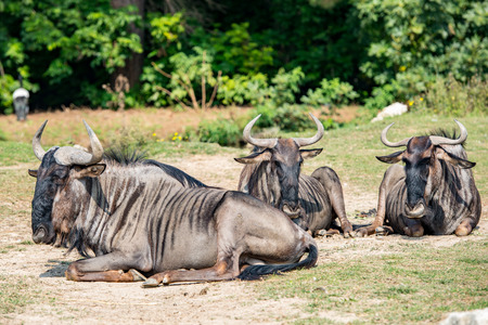 african wildebeest: African gnu while resting on grass soil