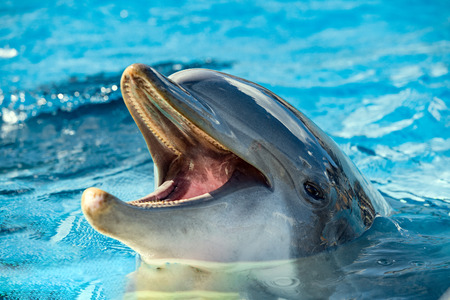 Common dolphin portrait while looking at you with open mouth 스톡 콘텐츠