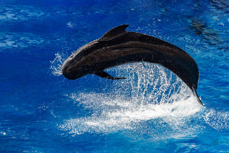 black pilot whale while jumping outside the deep blue sea